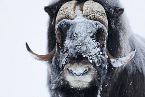 Muskox (Ovibos moschatus) with snow on face, Dovrefjell National Park, Norway, February 2009. WWE INDOOR EXHIBITION  -  Wild Wonders of Europe / Munier