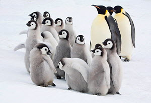 Curious Emperor penguin (Aptenodytes forsteri) chicks with adults in the Snow Hill Island colony. Antarctica, October 2006. - Bryan and Cherry Alexander