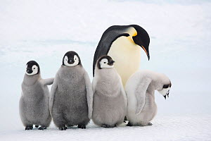 Four Emperor penguin (Aptenodytes forsteri) chicks with an adult at Snow Hill Island colony. Antarctica, October.  -  Bryan and Cherry Alexander