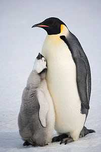 Emperor penguin (Aptenodytes forsteri) chick begging hard for food from a parent. Snow Hill Island, Antarctica, October. - Bryan and Cherry Alexander