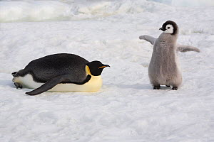 Emperor penguin (Aptenodytes forsteri) chick spreads tiny wings next to parent. Snow Hill. Antarctica, October. - Bryan and Cherry Alexander