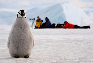 Emperor penguin (Aptenodytes forsteri) chick by a line of photographers. Snow Hill Island, Antarctica, October.  -  Bryan and Cherry Alexander