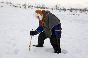 Saami reindeer herder using a stick to probe through the snow in order to check if winter pastures have iced over. Kautokeino, Finnmark, North Norway, March 2007.  -  Bryan and Cherry Alexander