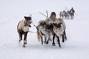 Khanty men and Reindeer (Rangifer tarandus) during a race at Spring festival in the village of Pitlyar. Yamal, Western Siberia, Russia, August 2008.  -  Bryan and Cherry Alexander