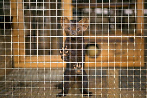 Siberian sable (Martes zibellina) in cage at a fur farm in the Yamal, Western Siberia, Russia, August 2008. - Bryan and Cherry Alexander