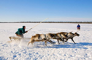 Nenets man competing in a Reindeer (Rangifer tarandus) race at a herders festival in the Yamal. Western Siberia, Russia, February 2009.  -  Bryan and Cherry Alexander