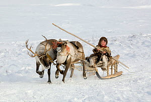 Nenets boy driving a Reindeer (Rangifer tarandus) sled near his family's winter camp in the Yamal. Western Siberia, Russia, February 2009.  -  Bryan and Cherry Alexander