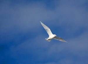 Ivory gull (Pagophila eburnea) in flight. Spitsbergen, Svalbard, Norway, June.  -  Bryan and Cherry Alexander