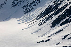 Small avalanche tracks down the walls of a valley glacier, the snow has become unstable after the summer thaw. Magdalenefjorden. Spitsbergen, Svalbard, Norway, June 2008.  -  Bryan and Cherry Alexander