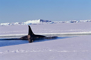 Male Killer whale (Orcinus orca) hunting along the floe edge by Mount Erebus. Ross Sea, Antarctica. - Bryan and Cherry Alexander