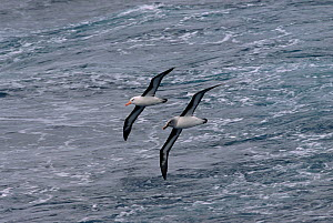 Black browed albatross (Thalassarche melanophrys) and Grey headed albatross (Thalassarche chrysostoma) ride the same air wave off Cape Horn, Southern Ocean. - Bryan and Cherry Alexander