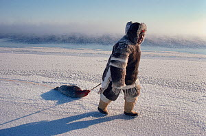 Inuit hunter dragging a dead seal while out hunting at the floe edge. Igloolik, Nunavut, Canada, 1990. Editorial use only. - Bryan and Cherry Alexander