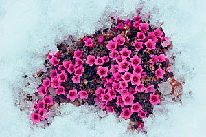 Purple saxifrage (Saxifraga oppositifolia), one of the first tundra plants to flower in the Arctic. Jens Munk Island, Nunavut, Canada  -  Bryan and Cherry Alexander