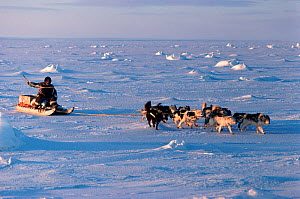 Inuk cracking his whip to encourage Huskies (Canis familiaris) over the sea ice. Igloolik, Nunavut, Canada, 1993. - Bryan and Cherry Alexander