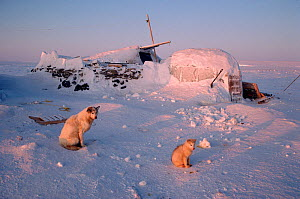 Traditional turf house with ice porch used as hunter's shelter, with Huskies (Canis familiaris) in front. Igloolik, Nunavut, Canada, 1993. - Bryan and Cherry Alexander