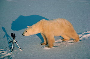 Young Polar bear (Ursus maritimus) investigating tripod. Cape Churchill, Canada.  -  Bryan and Cherry Alexander