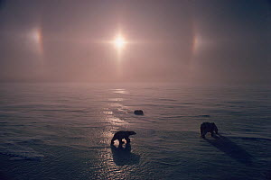 Polar bear (Ursus maritimus) mother and cubs with Parhelion / sun dogs over sea ice. Churchill, Manitoba, Canada.  -  Bryan and Cherry Alexander