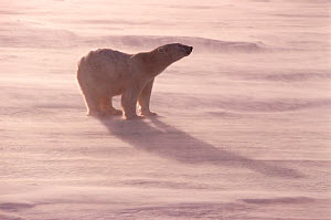 Polar bear (Ursus maritimus) on sea ice in wind. Churchill, Manitoba, Canada.  -  Bryan and Cherry Alexander