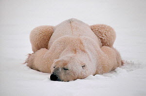 Polar bear (Ursus maritimus) getting covered in snow as he sleeps. Cape Churchill, Canada. - Bryan and Cherry Alexander