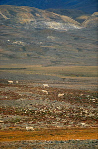 Grey / Arctic wolves (Canis lupin) on autumn tundra. Ellesmere Island, Nunavut, Canada, 1994.  -  Bryan and Cherry Alexander