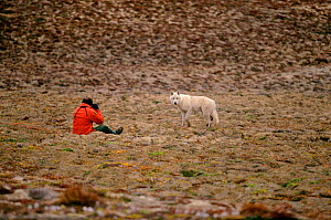Grey / Arctic wolves (Canis lupin) approaching park guard. Ellesmere Island, Nunavut, Canada, 1994.  -  Bryan and Cherry Alexander