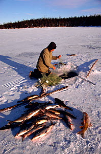 Cree hunter with catch of white fish. Quebec, Canada, 1988.  -  Bryan and Cherry Alexander
