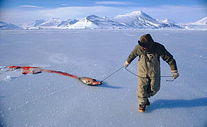 Inuit hunter dragging seal shot at breathing hole in the sea ice. Scoresbysund, East Greenland, 1974.  -  Bryan and Cherry Alexander