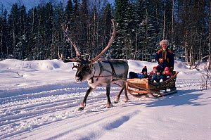 Sleigh ride at Reindeer (Rangifer tarandus) ranch. Rovaniemi, Finland, 1996.  -  Bryan and Cherry Alexander