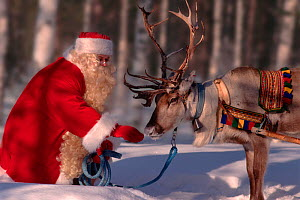 Santa Claus / Father Christmas feeding Reindeer (Rangifer tarandus), Rovaniemi, Finland, 1996.  -  Bryan and Cherry Alexander
