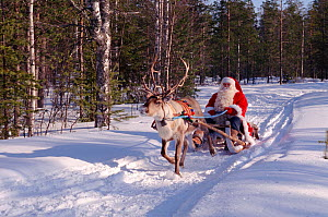 Santa Claus / Father Christmas on sleigh pulled by Reindeer (Rangifer tarandus), Rovaniemi, Finland, 1996.  -  Bryan and Cherry Alexander