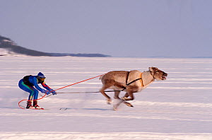 Reindeer (Rangifer tarandus) racing, Inari, North Finland, 1996.  -  Bryan and Cherry Alexander