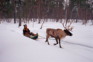 Lake Sami man travelling by 'Pulka,' traditional sled pulled by Reindeer (Rangifer tarandus). Inari, North Finland, 1996.  -  Bryan and Cherry Alexander