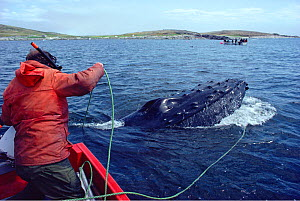 Professor Jon Lien releasing Humpback whale (Megaptera novaeangliae) trapped in fishing net off the coast of Labrador. Newfoundland, Canada.  -  Bryan and Cherry Alexander