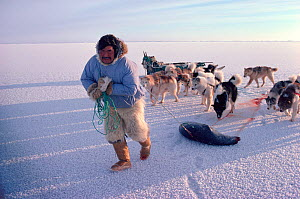 Inuit hunter in polar bear trousers dragging shot seal across sea ice followed by Dogs (Canis familiaris). Northwest Greenland, 1980.  -  Bryan and Cherry Alexander