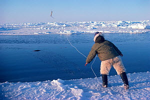 Inuit hunter retrieving dead seal from lead. Northwest Greenland, 1980.  -  Bryan and Cherry Alexander