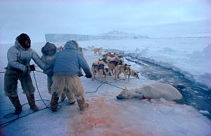 Inuit hunters in bearskin trousers hauling dead Polar bear (Ursus maritimus) out of lead. Northwest Greenland, 1980. - Bryan and Cherry Alexander