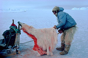 Inuit hunter with his share of Polar bear (Ursus maritimus) skin, which will be used to make trousers. Northwest Greenland, 1980. - Bryan and Cherry Alexander
