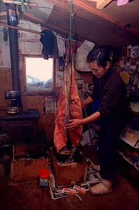 Inuit woman in hunting hut cleaning seal skin. Northwest Greenland, 1980.  -  Bryan and Cherry Alexander