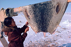 Inuit woman hanging up cleaned seal skin at hunting camp. Northwest Greenland, 1980.  -  Bryan and Cherry Alexander