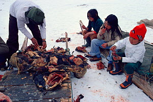 Inuit children eating Kiviat, a delicacy of fermented Guillemot (Uria aalge) at confirmation party in Moriussaq. Northwest Greenland, 1980.  -  Bryan and Cherry Alexander