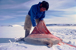 Inuit hunter skinning Ringed seal (Phoca hispida). Northwest Greenland, 1980. - Bryan and Cherry Alexander