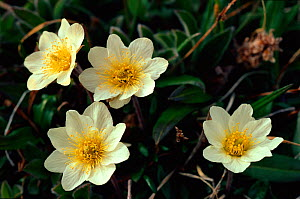 Entire leafed Arctic avens (Dryas integrifolia). Greenland.  -  Bryan and Cherry Alexander