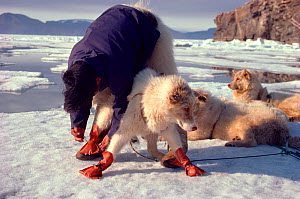 Inuit man tying boots onto sled dog (Canis familiaris) to protect feet from sharp ice crystals of early summer. Northwest Greenland, 1980.  -  Bryan and Cherry Alexander