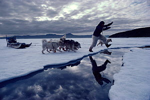 Inuit hunter jumping lead in summer sea ice, followed by Huskies (Canis familiaris). Qeqertat, Northwest Greenland, 1980  -  Bryan and Cherry Alexander