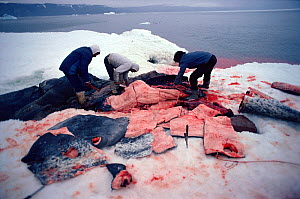 Inuit hunters butchering Narwhal (Monodon monoceros). The skin, a great source of vitamins, is a delicacy. Northwest Greenland, 1980. - Bryan and Cherry Alexander