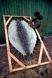 Inuit woman stretching seal skin onto frame to dry. Northwest Greenland, 1980.  -  Bryan and Cherry Alexander