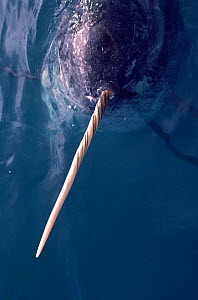 Close up of Narwhal (Monodon monoceros) in water showing its ivory tooth, Northwest Greenland. - Bryan and Cherry Alexander