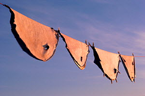 Seal skins hanging on line to dry in Autumn. Moriussaq, Greenland, 1987.  -  Bryan and Cherry Alexander