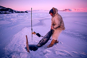Inuit hunter with Ringed seal (Phoca hispida) caught in net under ice. Northwest Greenland. - Bryan and Cherry Alexander