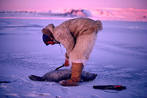 Inuit hunter skinning Ringed seal (Phoca hispida) out on sea ice. Northwest Greenland. - Bryan and Cherry Alexander